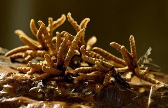 冬虫夏草哪些人不能吃?冬虫夏草主要的产地及产量?