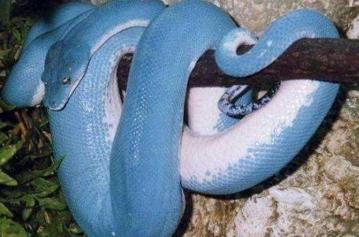 世界上漂亮的又是价值最高的蛇 蓝血绿树蟒价值近300万