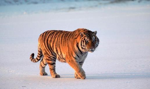 战斗力最强的猫科动物东北虎 单体战斗力最强比狮子厉害