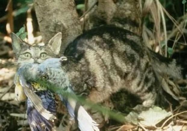 """猫咪在澳洲被称""""最凶残""""动物,泛滥成灾,政府花180亿来消灭猫"""