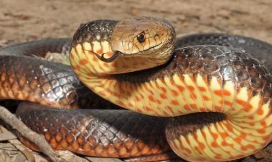 眼镜蛇主要分布于澳洲地区,为大型毒蛇,身体的颜色常呈黄褐色或者黑