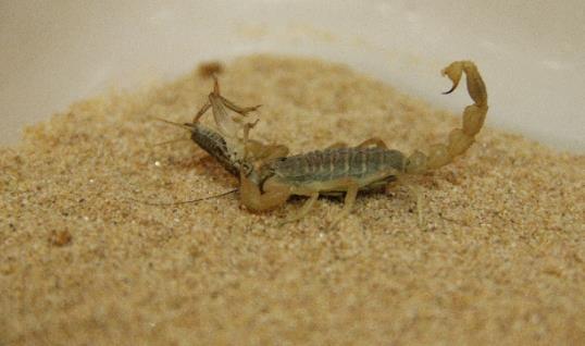 世界之最  埃及柱尾蝎,属节肢动物门,蛛形纲,蝎目动物,它的尺寸非常小