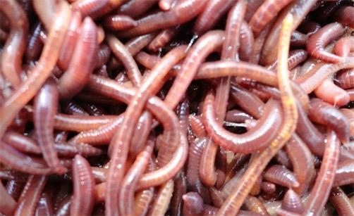 再生能力最强的环节动物 把蚯蚓切成多段依然能存活