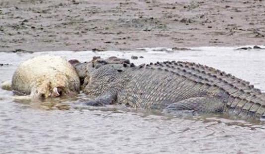 现存世界最大的爬行动物 咸水鳄一般身长4〜5米