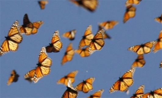 世界上距离最长的蝴蝶迁徙 帝王蝶迁徙距离长达3000多公里