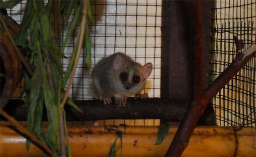 世界上最小的原始猴类 鼠狐猴体重40-100克