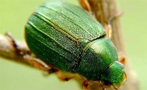 寿命最长的昆虫 活了47年的丽金龟