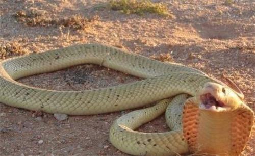 非洲咬人最多的蛇 黄金眼镜蛇致命率60%