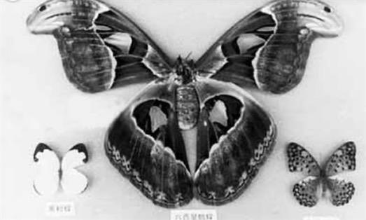 世界上最大的皇蛾蝶 玉林寒山发现翅展达226毫米的皇蛾蝶