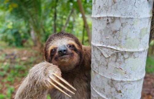 世界走得最慢的兽 树懒移动2公里需要用时1个月