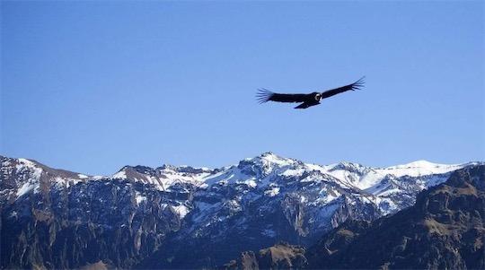 寿命最长的鸟类 安第斯神鹰一般寿命长约50年