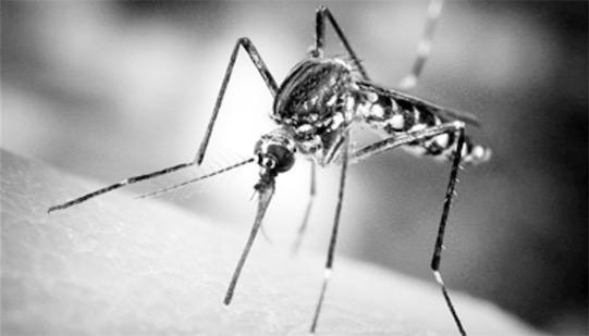 第一只转基因蚊子 美国科学家培育的蚊子可以抗击疟疾