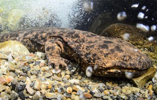 现存最大的两栖动物 中国大鲵身长可达1.8米