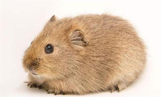 妊娠期最短的哺乳动物 达呼尔鼠兔孕期只有15天