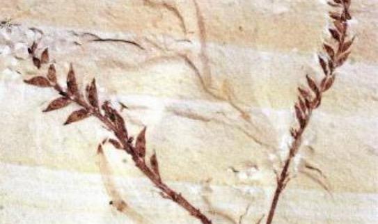 世界最早的花 距今1亿4500万年的辽宁古果
