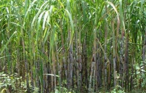 """寿命最长的甘蔗 """"百年蔗""""在公元1727年栽种"""