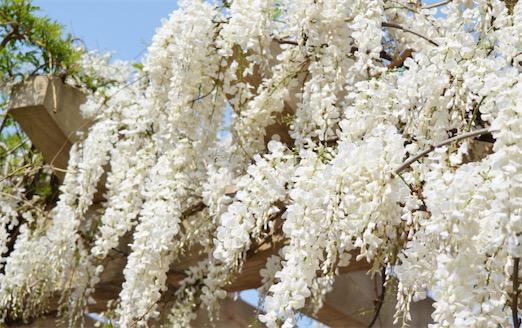 陆地上最长的植物 白藤可达400―500米