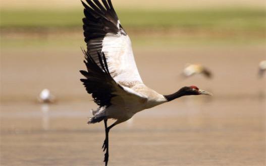 唯一的高原鹤类 黑颈鹤栖息于海拔5000米高原的沼泽地