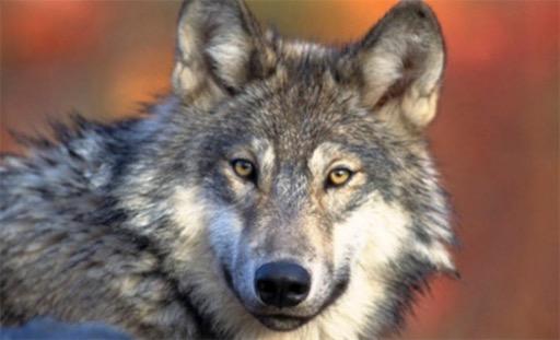 现存最大的犬科动物 灰狼身长可达2.5米