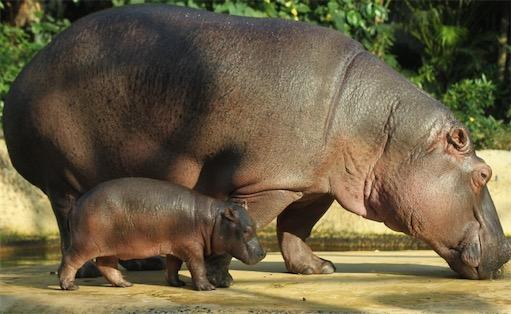 体重最重的偶蹄目动物 河马体重可达4吨