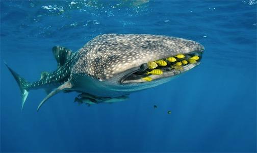 现存体型最大的软骨鱼 鲸鲨可达12米