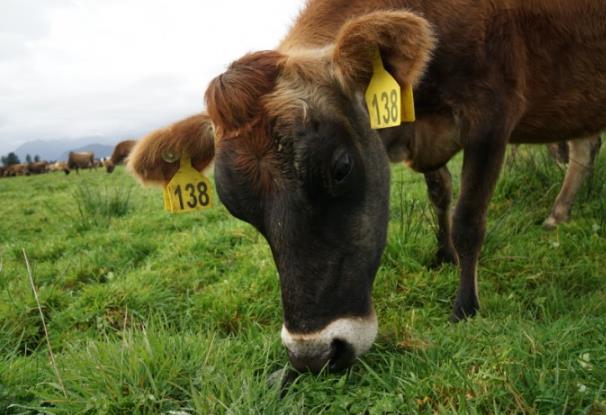 新西兰奶源怎么样 纯净奶源更安全