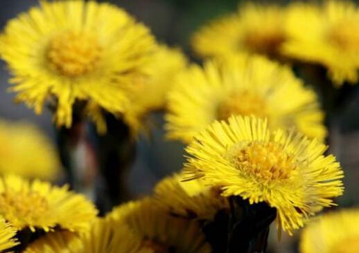款冬花的介绍-款冬花的功效与作用