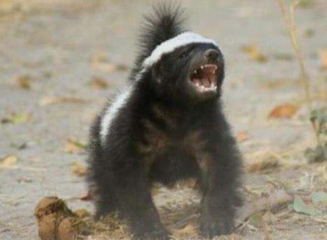 蜜獾是一个比较勇敢的动物,可以攻击任何敌人面对对手的时候不害怕
