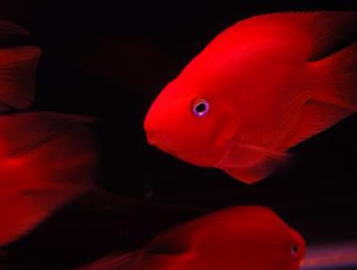 全球十大最贵的观赏鱼,血红鱼傲视群雄,白金龙鱼很罕见[图]
