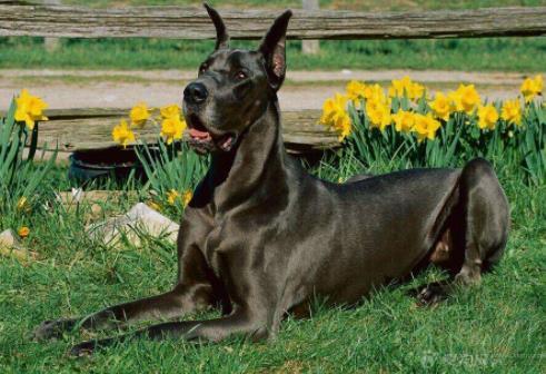 世界上最大的十个狗品种排名,大丹犬、俄罗斯高加索犬很霸气