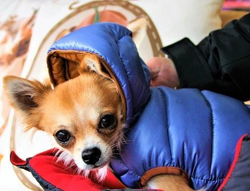最怕冷的十种狗排名,吉娃娃、中国冠毛犬毛少体型小