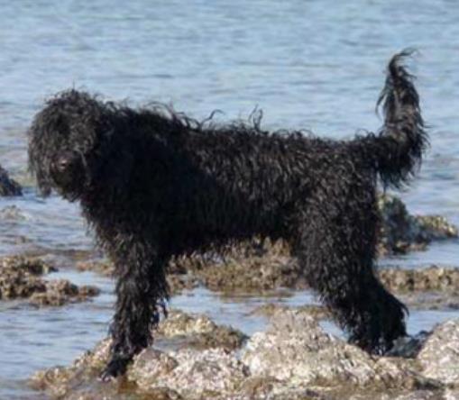 """世界中型犬排行榜,葡萄牙水犬英勇无畏,萨摩耶称为""""微笑天使"""""""