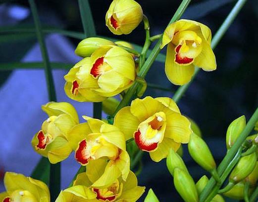 十大名贵兰花品种排行,鬼兰花朵洁白,素冠荷鼎雍容尊贵