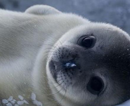 格陵兰海豹 毫无疑问,这里列出的很多动物都是受到威胁,脆弱,濒临灭绝