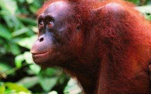 世界上最聪明的动物排行 1,类人猿 2,大象 3,海豚 4,老鼠 类人猿