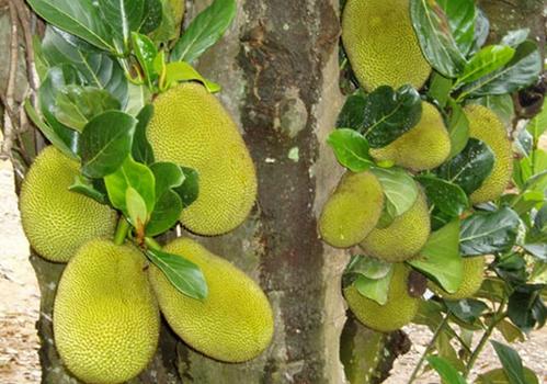 菠萝蜜怎么吃 菠萝蜜的功效与作用图片