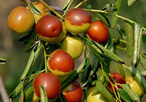 冬枣的种植技术-冬枣的功效与作用