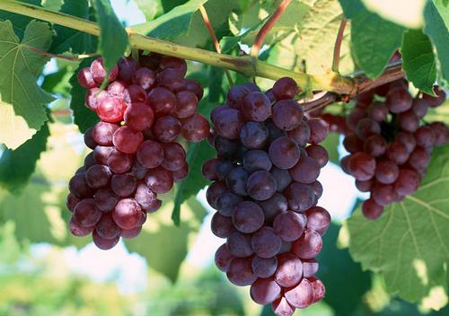 提子和葡萄的区别-孕妇能吃葡萄吗?