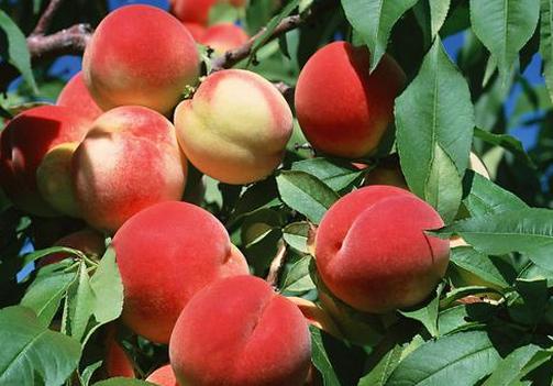 食用水蜜桃的注意事项-水蜜桃的功效与作用