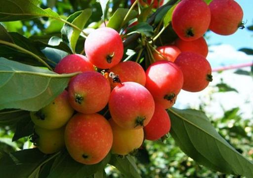 食用海棠果的注意事项-海棠果的功效与作用