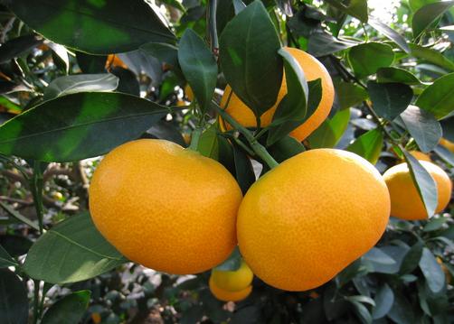 蜜桔的功效与作用-食用蜜桔的注意事项