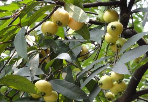 蒲桃的种植技术-蒲桃的功效与作用