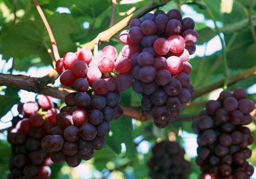 山葡萄的种植技术-山葡萄的功效与作用