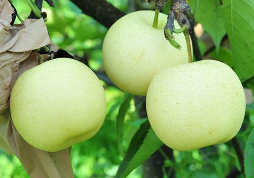 食用水晶梨的注意事项-水晶梨的功效与作用