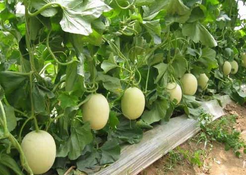 甜瓜的功效与作用-甜瓜的种植技术