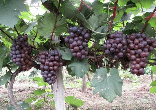 夏黑葡萄的种植技术-夏黑葡萄的功效与作用