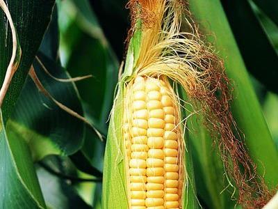玉米须的功效_玉米须的功效与作用中药频道大众医药网
