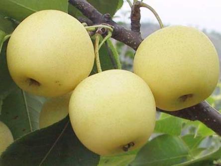 梨的营养价值、功效与作用、食用禁忌