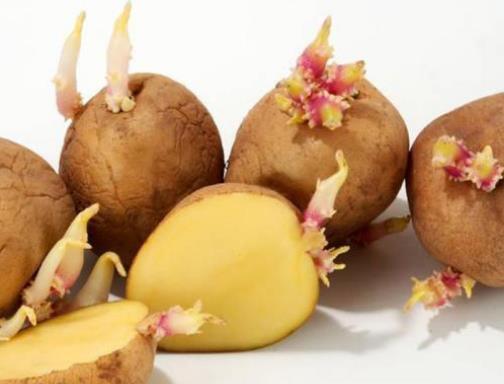 发芽的马铃薯含有什么毒素(龙葵素)?土豆如何保存不发芽?