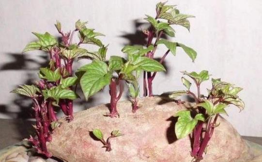 红薯发芽了能吃吗?红薯有什么功效及作用